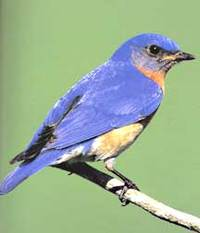 Eastern_bluebird_lang